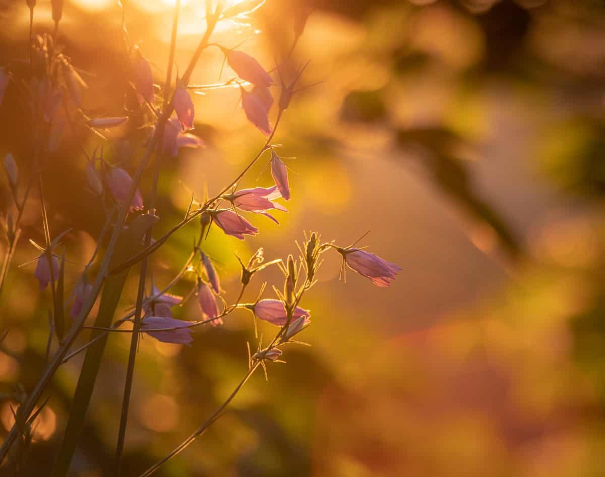Abendblume