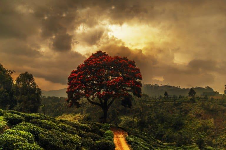 Akazie im Hochland von Srilanka